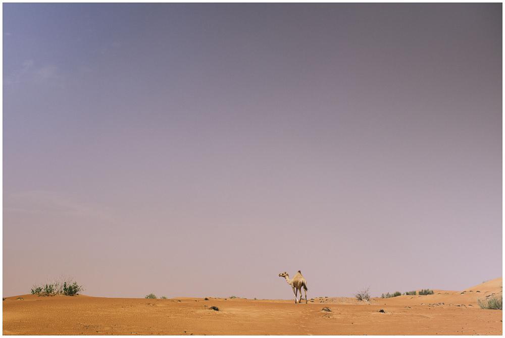Kamel Dubai Wüste