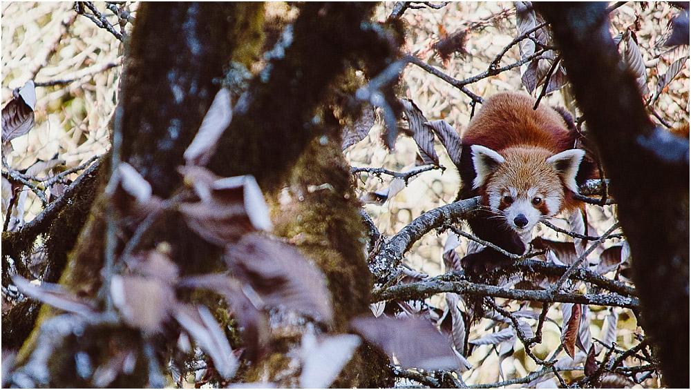 Roter Panda Bär Indien